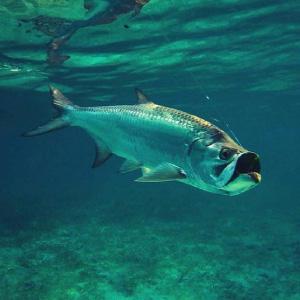 Tarpon underwater